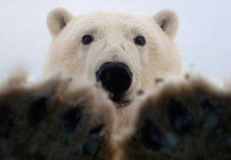 polar-bear-upclose
